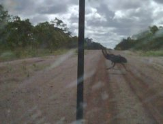 Emus running in front of car heading to cattle station
