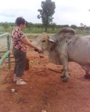 Tony the Grey Brahman bull.